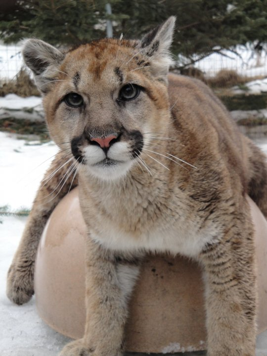 Andre, cougar