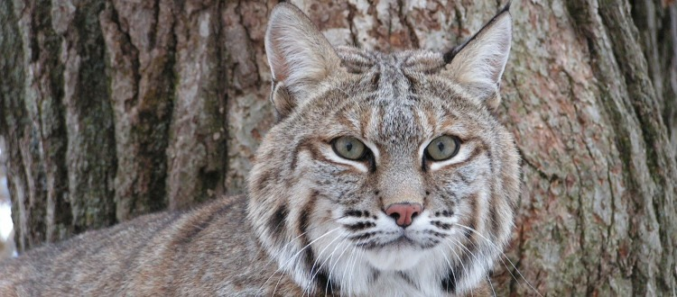 Tractor the bobcat, a former wild pet