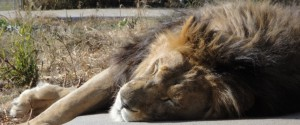 Aslan the lion rescued from Catskill Game Farm.