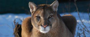 Raja the cougar.