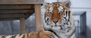 Ekaterina the tiger from WAO