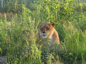 Asha the lioness laying in the grass