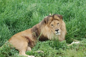 Aslan_lion_lying_in_the_grass