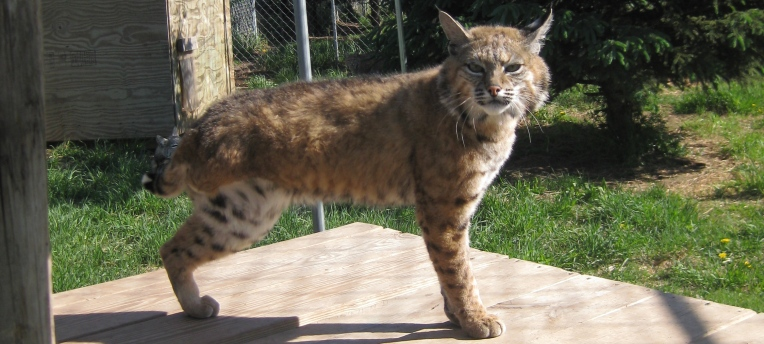 Claud the injured wild bobcat