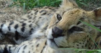 Sebastia the serval at TWS