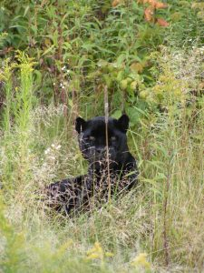 Diablo Guapo the black jaguar hiding in tall grass