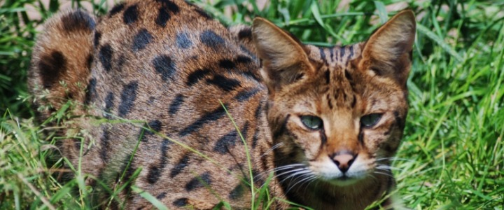 Bengal cat minnesota