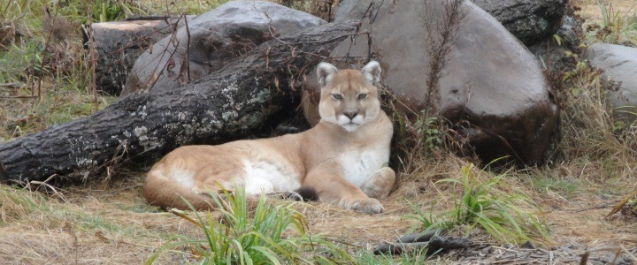 Liberty the cougar with metabolic bone disease