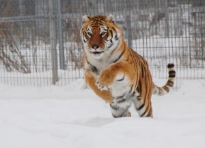 Lilly_the_tiger_playing_in_the_snow