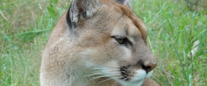 Matty the cougar from the Catskill Game Farm
