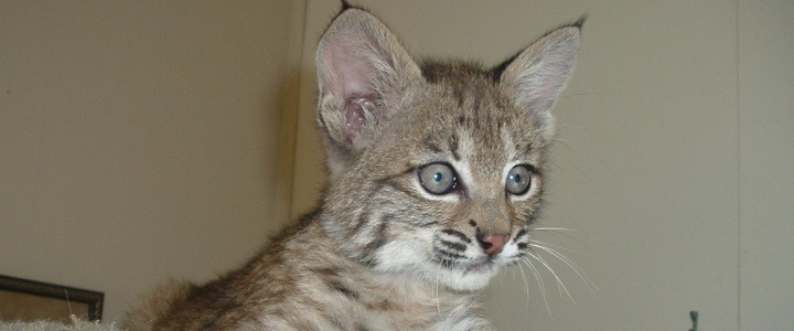 Maya the bobcat kitten was purchased off the internet
