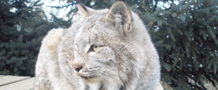 Shalico the Canadian Lynx was a former wild pet