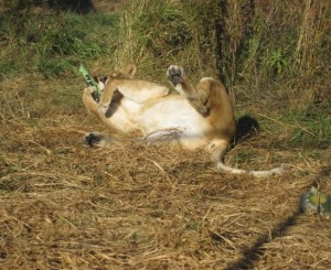 Shanti Deva the lioness rolling with enrichment