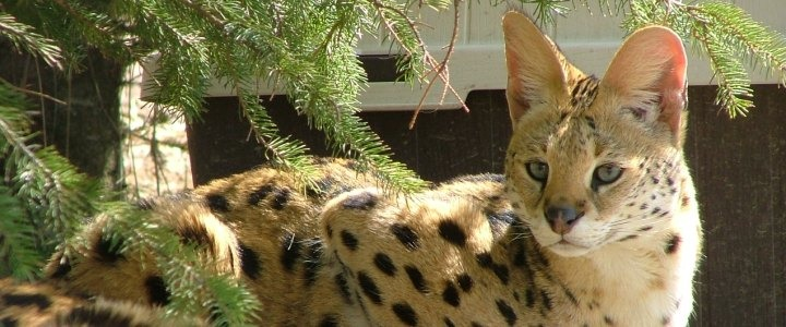 Bosco the African serval