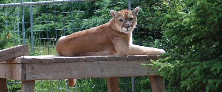 Max the cougar from the Catskill Game Farm