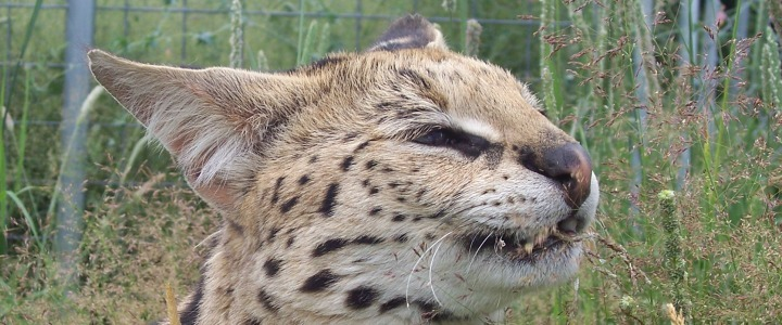 Denali the African serval was a former wild pet