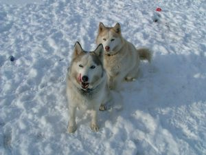 Huskies_in_the_snow
