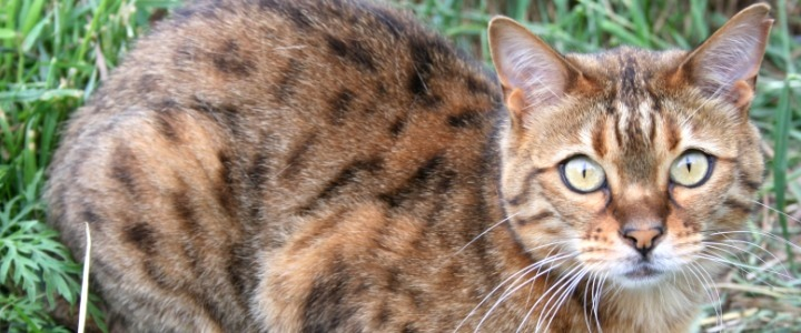 Grace the spotted Bengal domestic cat