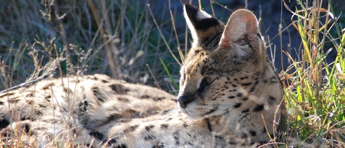 Halifax the African serval