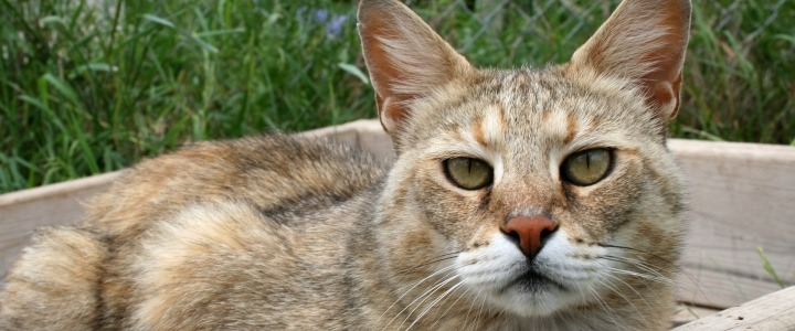Kashmir the chausie was dropped off at the animal humane society