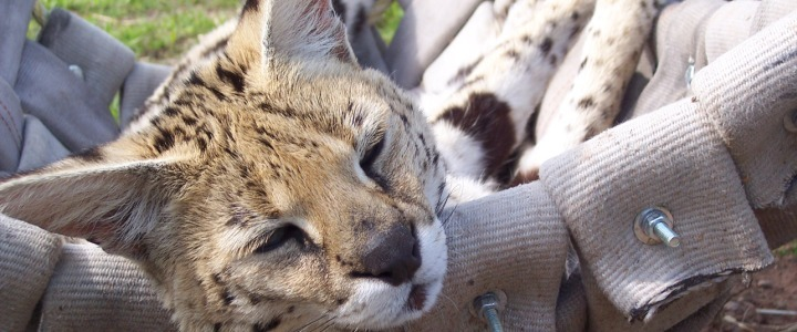 Kyra the African serval was used to breed Savannahs