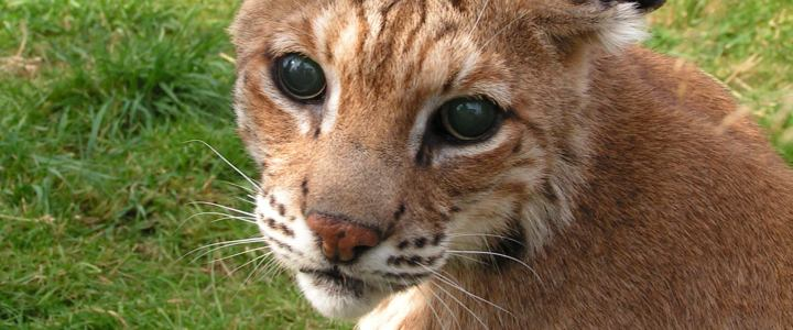 Lakota the bobcat from WAO