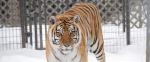 Layla the tiger rescued from WAO