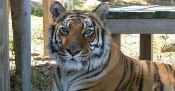Meme the Bengal tiger