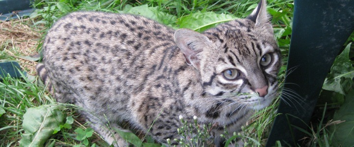 Rascal the Geoffroy's cat