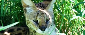 Morocco (Rocky) the African serval was privately owned