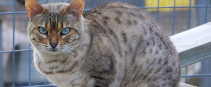 Rori a spotted snow Bengal cat