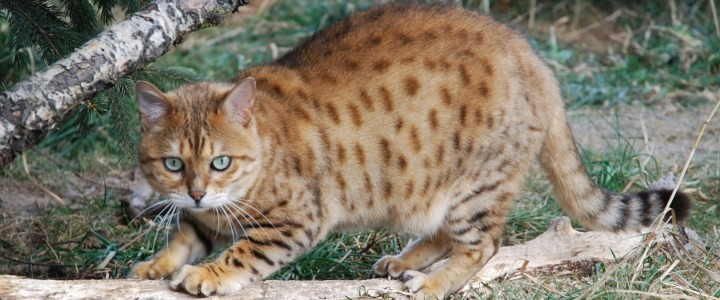 Safari a brown spotted Bengal cat