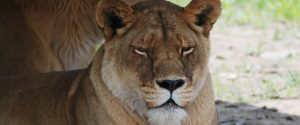 Shanti Deva the lioness from Catskill Game Farm