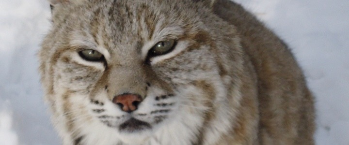 Sidney the bobcat a former wild pet