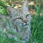 Haley the bobcat