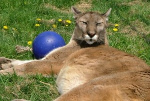 Spring the cougar laying in the sun