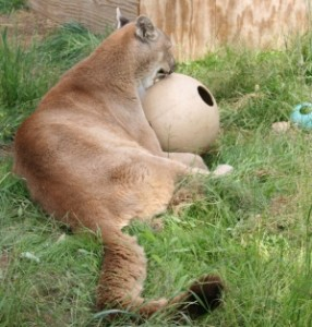 Spring the cougar playing with his ball