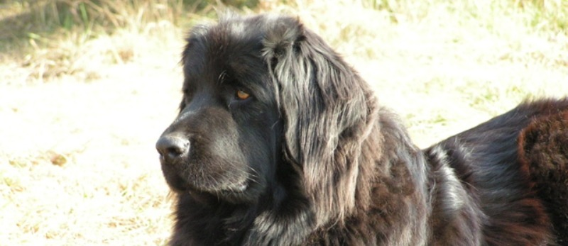 Gracie the newfoundland.