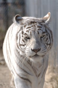 Sierra_the_white_tiger_walking