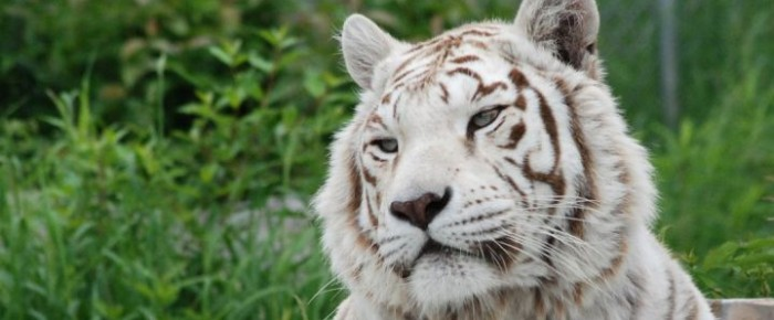 Sierra_the_white_Bengal_tiger