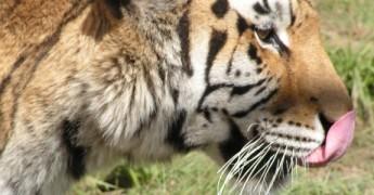 Feed_a_big_cat