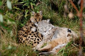 Serval_bobcat_wildcat_sanctuary