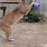 Tasha plays with hanging ball