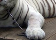 chained tiger crop