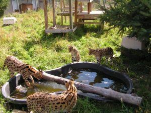 serval group at pool