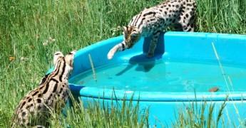 servals at pool.jpg