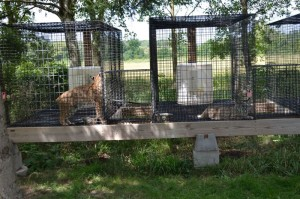 bobcats_before_being_rescued