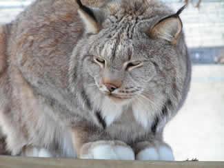 TWS lynx Kitty is 21 years old