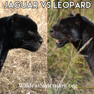 The top 5 differences between jaguars and leopards - The ... - photo#26