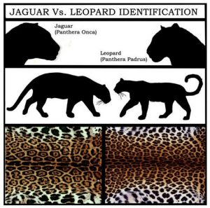 what is the difference between jaguars panthers and leopards